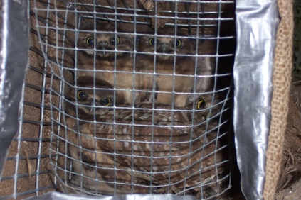 owlets-in-trap