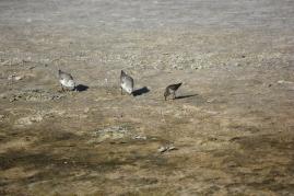 Sanderlings and Least Sandpiper