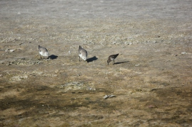 Sanderlings and Least Sandpiper